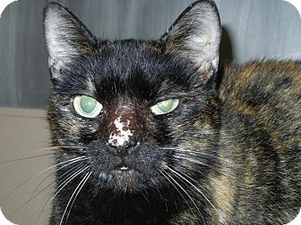 Domestic Shorthair Cat for adoption in Miami, Florida - Q-Tip