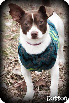 Rat Terrier Mix Puppy for adoption in Brattleboro, Vermont - Cotton