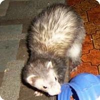 Adopt A Pet :: Juliet - Spokane Valley, WA