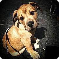 Adopt A Pet :: Junkyard~ adoption pending - Phoenix, AZ