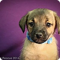 Adopt A Pet :: Speedo - Broomfield, CO