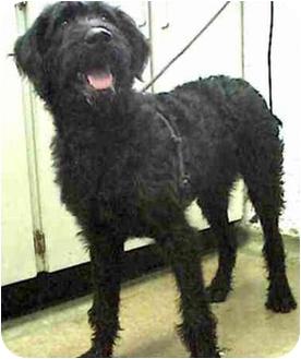 Bouvier des Flandres Dog for adoption in Rolling Hills Estates, California - Kippy