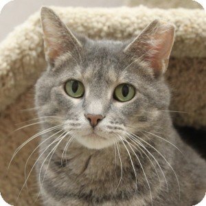 Domestic Shorthair Cat for adoption in Naperville, Illinois - Cherise