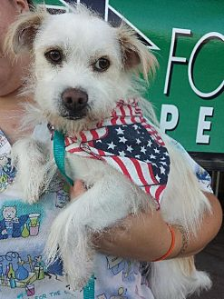 Westie, West Highland White Terrier/Terrier (Unknown Type, Medium) Mix Dog for adoption in Porter Ranch, California - Einstein Norris (BRK)