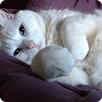Adopt A Pet :: Shugar - San Rafael, CA