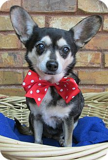 Chihuahua Mix Dog for adoption in Benbrook, Texas - Minnie