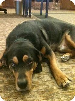 Beagle/Coonhound Mix Dog for adoption in PLAINFIELD, Indiana - Rubin