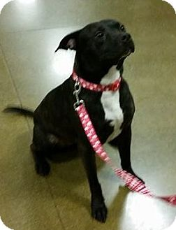 American Pit Bull Terrier/Terrier (Unknown Type, Medium) Mix Dog for adoption in Snohomish, Washington - Penny- Perfect Petite Pittie!