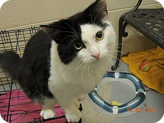 Domestic Mediumhair Cat for adoption in Schererville, Indiana - Kane