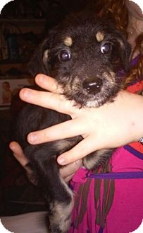 Schnauzer (Miniature)/Terrier (Unknown Type, Small) Mix Puppy for adoption in Crosby, Texas - Lil Girl