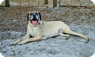 Mastiff Mix Dog for adoption in Umatilla, Florida - Monty