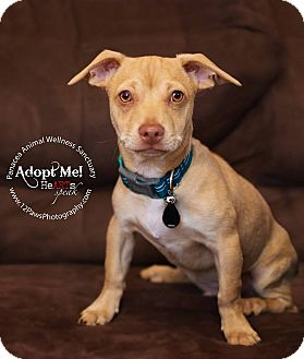Chihuahua Mix Puppy for adoption in Higley, Arizona - THE ROCK