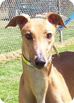 Greyhound Dog for adoption in Randleman, North Carolina - Jethro