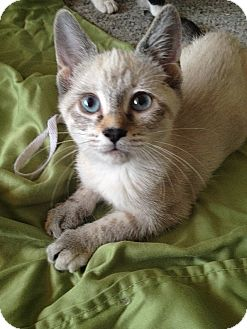 Siamese Kitten for adoption in Tampa, Florida - Rina