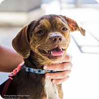 Adopt A Pet :: Lilly - Los Angeles, CA