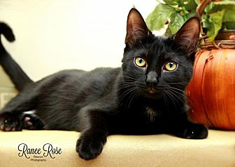 Domestic Shorthair Cat for adoption in Sterling Heights, Michigan - Bunting