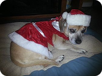 Pug/Beagle Mix Dog for adoption in Ogden, Utah - Daisey