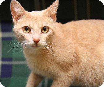 Domestic Shorthair Cat for adoption in Marietta, Ohio - Sweet Pea (Spayed)
