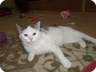 Domestic Shorthair Cat for adoption in Medford, Wisconsin - CHANDLER
