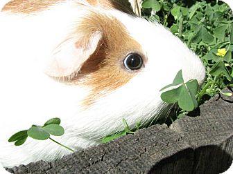 Guinea Pig for adoption in Warren, Michigan - Biscuit
