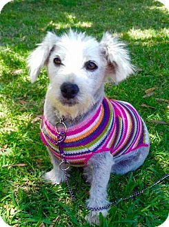 Maltese/Terrier (Unknown Type, Small) Mix Dog for adoption in Corona, California - SOPHIA