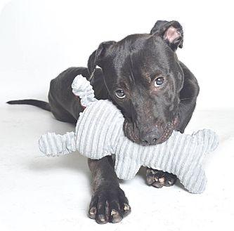 American Pit Bull Terrier Mix Dog for adoption in Jefferson City, Missouri - Duke