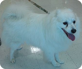 American Eskimo Dog Mix Dog for adoption in St. Louis, Missouri - Sargent