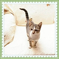 Domestic Shorthair Kitten for adoption in Island Heights, New Jersey - Button