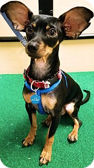 Miniature Pinscher/Chihuahua Mix Dog for adoption in Monrovia, California - Dodger