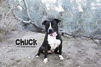 Boxer/American Pit Bull Terrier Mix Dog for adoption in Palm Springs, California - Chuck