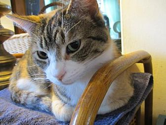 Calico Cat for adoption in Colonial Beach, Virginia - Torrie