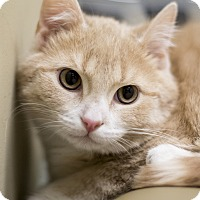 Adopt A Pet :: Nugget - Chicago, IL