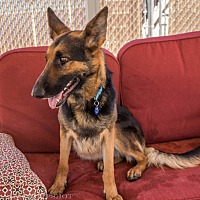 Adopt A Pet :: Nosey - Phoenix, AZ