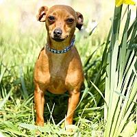 Adopt A Pet :: Jonny cash - Auburn, CA