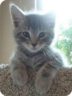 Domestic Shorthair Kitten for adoption in North Highlands, California - Greda
