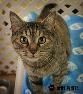 Domestic Shorthair/Domestic Shorthair Mix Cat for adoption in Norman, Oklahoma - Akira