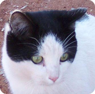 Domestic Shorthair Cat for adoption in Guthrie, Oklahoma - Freddie