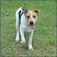 Labrador Retriever/Shepherd (Unknown Type) Mix Dog for adoption in Shreveport, Louisiana - Tucker
