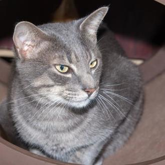 Domestic Shorthair/Domestic Shorthair Mix Cat for adoption in Fernandina Beach, Florida - Fee - Pet SuperMarket