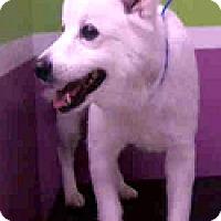 Adopt A Pet :: Sheba-ADOPTION PENDING - Boulder, CO