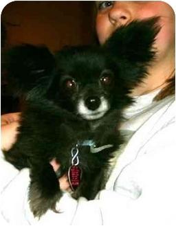 Papillon Dog for adoption in Avon, New York - Buffy