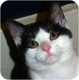 Domestic Shorthair Kitten for adoption in Walker, Michigan - Bear