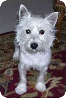 Westie, West Highland White Terrier Dog for adoption in Frisco, Texas - Tommy Girl Adopted