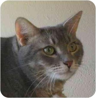Domestic Shorthair Cat for adoption in Palatine, Illinois - MAXIMUS