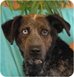 Catahoula Leopard Dog Mix Dog for adoption in Las Vegas, Nevada - Eddie