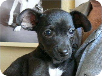 Chihuahua Mix Dog for adoption in Houston, Texas - Bogey