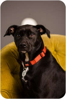 Labrador Retriever/German Shorthaired Pointer Mix Dog for adoption in Portland, Oregon - Gunner