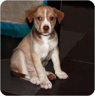 Labrador Retriever Mix Puppy for adoption in Nanuet, New York - Girl puppies