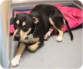 Shepherd (Unknown Type)/Pit Bull Terrier Mix Dog for adoption in Edgewater, New Jersey - Vicki