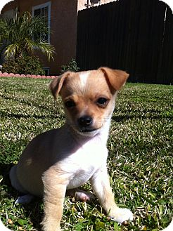 Chihuahua Puppy for adoption in El Cajon, California - CODY (NY)